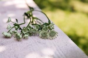 Astrantia-saisonkalender-blumen-zinnowitz-rosen-und-dornen