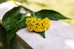Celosia-saisonkalender-blumen-zinnowitz-rosen-und-dornen