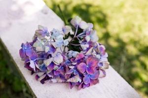 hortensie-saisonkalender-blumen-zinnowitz-rosen-und-dornen