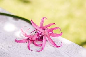 Nerine-saisonkalender-blumen-zinnowitz-rosen-und-dornen