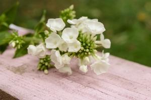 Blumen-Zinnowitz-Florist-Rosen und Dornen-zart-Phlox-September-weiß-kleine-Blüten