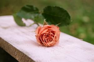 Blumen-Zinnowitz-Florist-Rosen und Dornen-zart-September-Blüte-lachs-orange