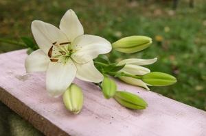 Blumen-Zinnowitz-Florist-Rosen und Dornen-zart-September-Blüte-Lilie-weiß-creme