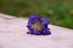 Blumen-Zinnowitz-Florist-Rosen und Dornen-zart-September-Blüte-Scabiose-Blau-Violett