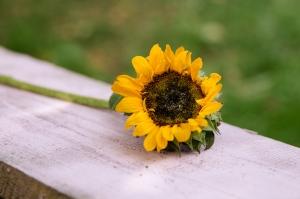 Blumen-Zinnowitz-Florist-Rosen und Dornen-zart-September-Blüte-Sonnenblume-Schiar-klein