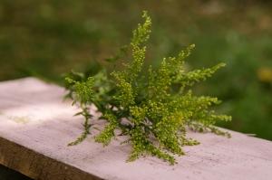 Blumen-Zinnowitz-Florist-Rosen und Dornen-zart-September-grün-gelb-kleine-Blüten-Solidaga
