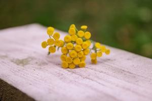 Blumen-Zinnowitz-Florist-Rosen und Dornen-zart-September-kleine-Blüten-Scharfgabe-gelb