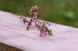 Blumen-Zinnowitz-Florist-Rosen und Dornen-zart-September-kleine-Blüten-Wachsflower-rosa-pink-lila