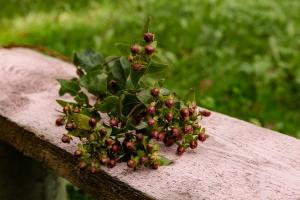 Blumen-Zinnowitz-Florist-Rosen und Dornen-zart-Oktober-Blüte-blumenstrauß-rose-lilie-Hagebutte-barthnelke-kohl-chrysantheme-Asclepia-sedum-laub-Johanniskraut-Zierobst-11