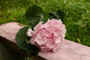 Blumen-Zinnowitz-Florist-Rosen und Dornen-zart-Oktober-Blüte-blumenstrauß-rose-lilie-Hagebutte-barthnelke-kohl-chrysantheme-Asclepia-sedum-laub-Johanniskraut-Zierobst-15