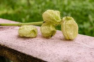 Blumen-Zinnowitz-Florist-Rosen und Dornen-zart-Oktober-Blüte-blumenstrauß-rose-lilie-Hagebutte-barthnelke-kohl-chrysantheme-Asclepia-sedum-laub-Johanniskraut-Zierobst-6