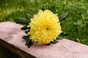 Blumen-Zinnowitz-Florist-Rosen und Dornen-zart-Oktober-Blüte-blumenstrauß-rose-lilie-Hagebutte-barthnelke-kohl-chrysantheme-Asclepia-sedum-laub-Johanniskraut-Zierobst-7