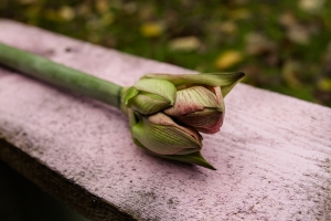 Blumen-Zinnowitz-Florist-Rosen und Dornen-zart-November-Blüte-blumenstrauß-rose-lilie-chrysantheme-laub-Schleierkraut-Gerbera-Calla-Eustomia-Veronica-Ehrenpreis-Nelke-Ornithogalum-Amaryllis-Euca-16