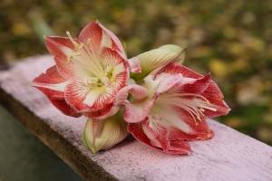 Blumen-Zinnowitz-Florist-Rosen und Dornen-zart-November-Blüte-blumenstrauß-rose-lilie-chrysantheme-laub-Schleierkraut-Gerbera-Calla-Eustomia-Veronica-Ehrenpreis-Nelke-Ornithogalum-Amaryllis-Euca-24