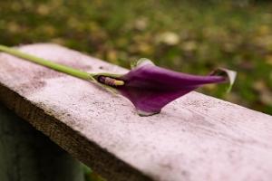 Blumen-Zinnowitz-Florist-Rosen und Dornen-zart-November-Blüte-blumenstrauß-rose-lilie-chrysantheme-laub-Schleierkraut-Gerbera-Calla-Eustomia-Veronica-Ehrenpreis-Nelke-Ornithogalum-Amaryllis-Euca-5