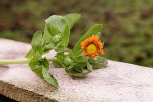 Blumenladen-Zinnowitz-Florist-Rosen-und-Dornen-Chrysantheme-tulpe-nelke-kamille-lilie-rosen-gerbera-ginster-lilie-10