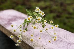 Blumenladen-Zinnowitz-Florist-Rosen-und-Dornen-Chrysantheme-tulpe-nelke-kamille-lilie-rosen-gerbera-ginster-lilie-4