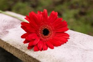 Blumenladen-Zinnowitz-Florist-Rosen-und-Dornen-Chrysantheme-tulpe-nelke-kamille-lilie-rosen-gerbera-ginster-lilie-9