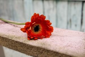 Blumenladen-Zinnowitz-Rosen-und-Dornen-Florist-Strauß-Ranunkel-Gerbera-Chemeone-Kamille-Hiazinthe-Ginster-Tulpe-Eustoma-Fresie-Solidago-hübsche-Blumen-einzeln-2
