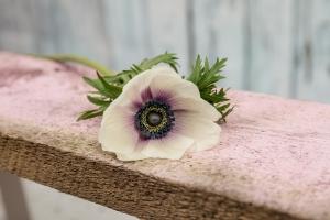 Blumenladen-Zinnowitz-Rosen-und-Dornen-Florist-Strauß-Ranunkel-Gerbera-Chemeone-Kamille-Hiazinthe-Ginster-Tulpe-Eustoma-Fresie-Solidago-hübsche-Blumen-einzeln-3