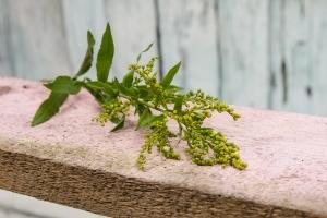Blumenladen-Zinnowitz-Rosen-und-Dornen-Florist-Strauß-Ranunkel-Gerbera-Chemeone-Kamille-Hiazinthe-Ginster-Tulpe-Eustoma-Fresie-Solidago-hübsche-Blumen-einzeln-9