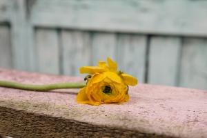 Blumenladen-Zinnowitz-Rosen-und-Dornen-Florist-Strauß-Ranunkel-Gerbera-Chemeone-Kamille-Hiazinthe-Ginster-Tulpe-Eustoma-Fresie-Solidago-hübsche-Blumen-einzeln