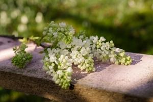 Rosen-und-Dornen-florist-blumenladen-Zinnowitz-Usedom-Chysantheme-narzisse-Tulpe-ranunkel-christrose-Nelke-flieder-annemone-rose-solidago-10