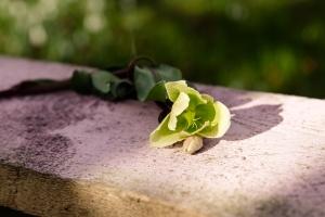 Rosen-und-Dornen-florist-blumenladen-Zinnowitz-Usedom-Chysantheme-narzisse-Tulpe-ranunkel-christrose-Nelke-flieder-annemone-rose-solidago-2