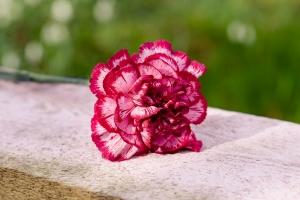 Rosen-und-Dornen-florist-blumenladen-Zinnowitz-Usedom-Chysantheme-narzisse-Tulpe-ranunkel-christrose-Nelke-flieder-annemone-rose-solidago-4
