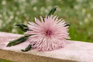 Rosen-und-Dornen-florist-blumenladen-Zinnowitz-Usedom-Chysantheme-narzisse-Tulpe-ranunkel-christrose-Nelke-flieder-annemone-rose-solidago-7