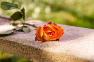 Rosen-und-Dornen-florist-blumenladen-Zinnowitz-Usedom-Chysantheme-narzisse-Tulpe-ranunkel-christrose-Nelke-flieder-annemone-rose-solidago-8