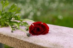 Rosen-und-Dornen-florist-blumenladen-Zinnowitz-Usedom-Chysantheme-narzisse-Tulpe-ranunkel-christrose-Nelke-flieder-annemone-rose-solidago